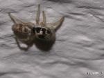 Sebraspindel (Salticus scericus Salticidae), juvenil (ungdom)