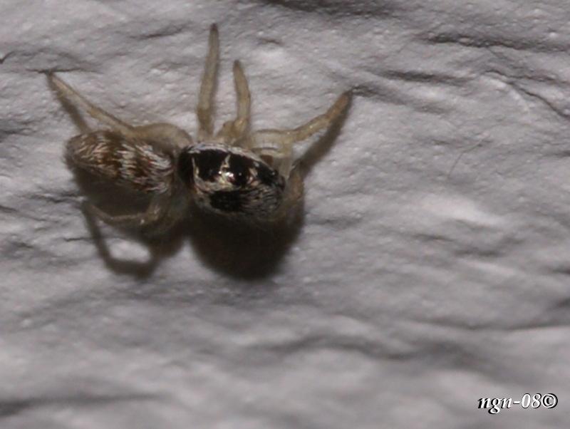 Sebraspindel (Salticus scenicus Salticidae), juvenil (ungdom)