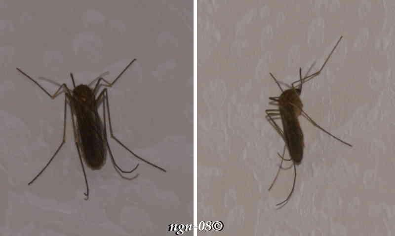 Vanlig stickmygga, liten husmygga (Culex pipiens Culicidae)
