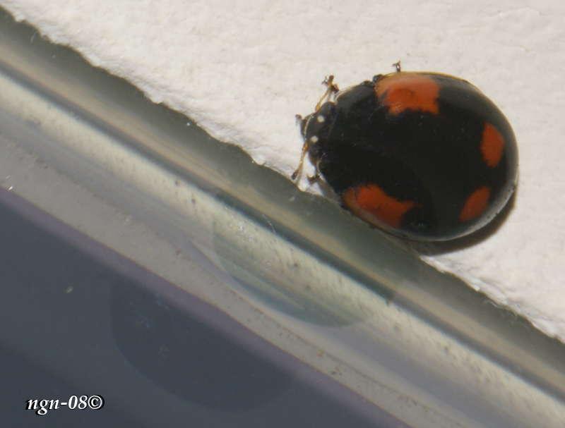 2-prickig nyckelpiga (Adalia bipunctata Coccinellidae)