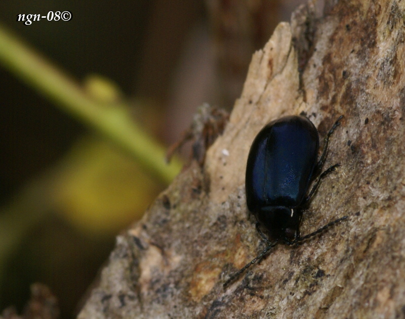 Bladbagge (Chrysolina geminata Chrysomelidae)