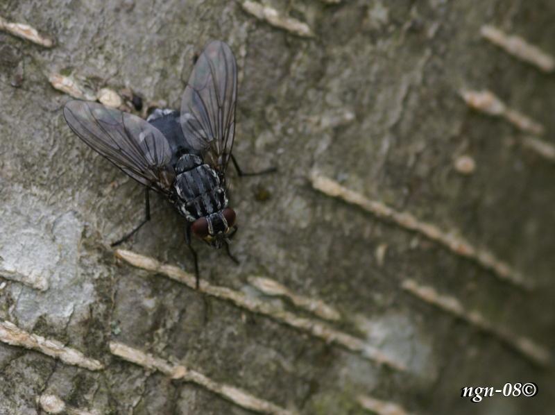 Köttfluga (Sarcophaga carnaria)