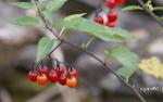 [Bild: Besksöta (Solanum dulcamara)]