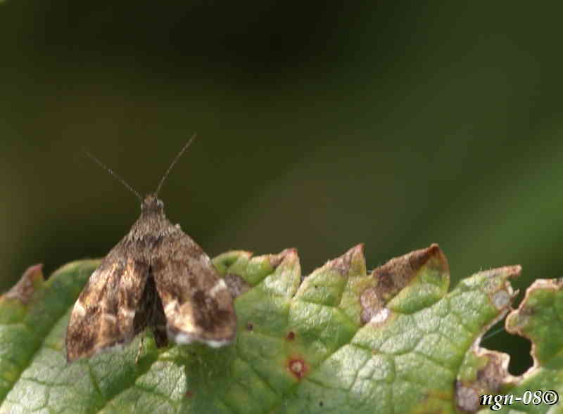 Ljungmätare (Eupithecia nanata Geometridae), tror jag