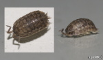 [Bild: Gråsugga (Klass: Isopoda)]