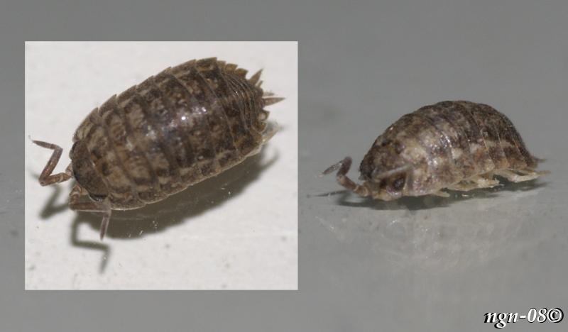 [Bild: Någon slags Gråsugga (Klass: Isopoda)]