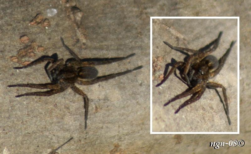 [Bild: Ängsvargspindel (Pardosa amentata Lycosidae)]