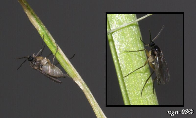 [Bild: Sorgmygga (Sciara thomae Scaridae)]