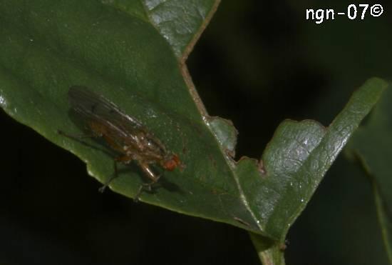 Dyngfluga (Scatophaga stercoraria) ©NGN-foto