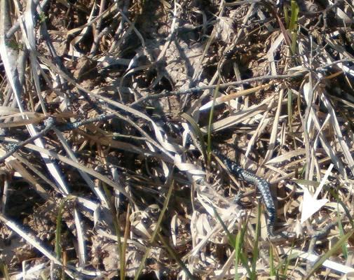 Huggorm (Vipera berus)