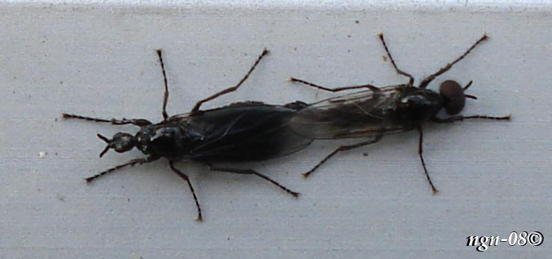 [Bild: Parande Skogshårmygga (Dilophus febrilla Bibionidae)]