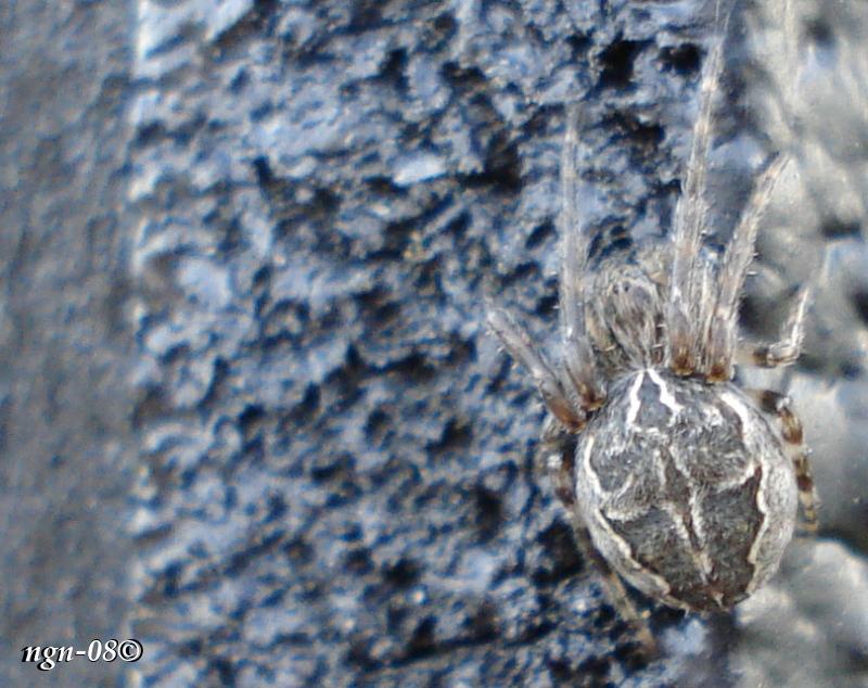[Bild: Vasshjulspindel (Larinioides cornutus Araneidea)]