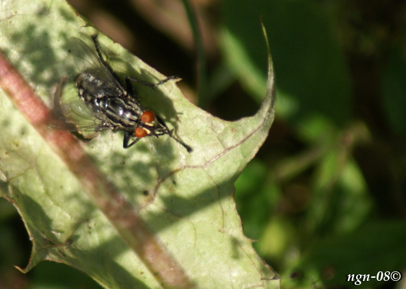[Bild: Köttfluga (Sarcophaga carnaria Sarcophagidae)]
