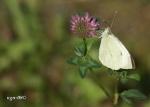 [Bild: Kålfjäril (Pieris brassicae)]