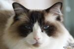 [Bild: Katten Linus (Felis catus Felidae, Ragdoll)]