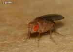 Bananfluga (Drosophila funebris Drosophilidae)