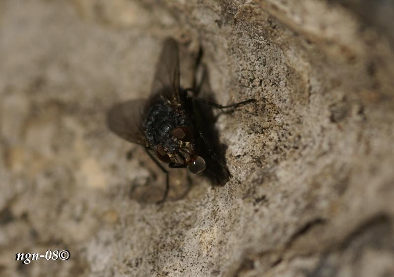 [Bild: Blå spyfluga (Calliphora vomitoria), hona]