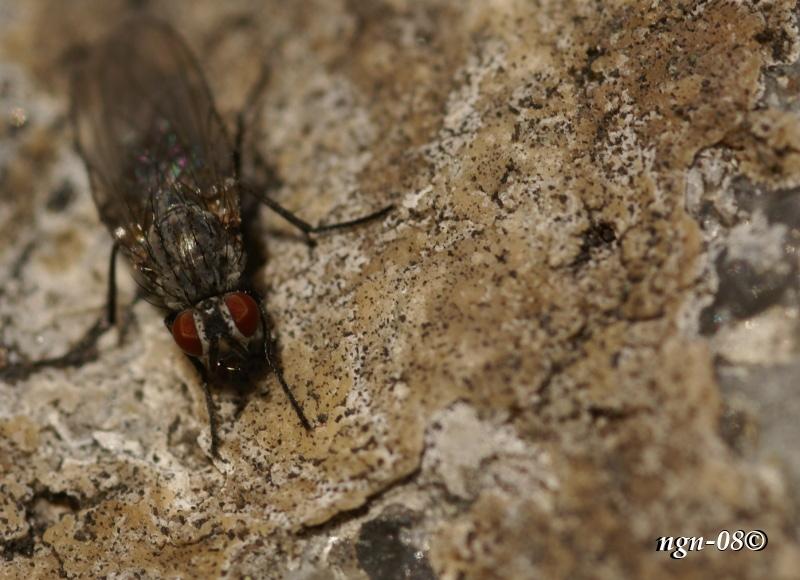 [Bild: Fluga(?) Påminner om Höststickfluga (Haematobia stimulans), Hona.]