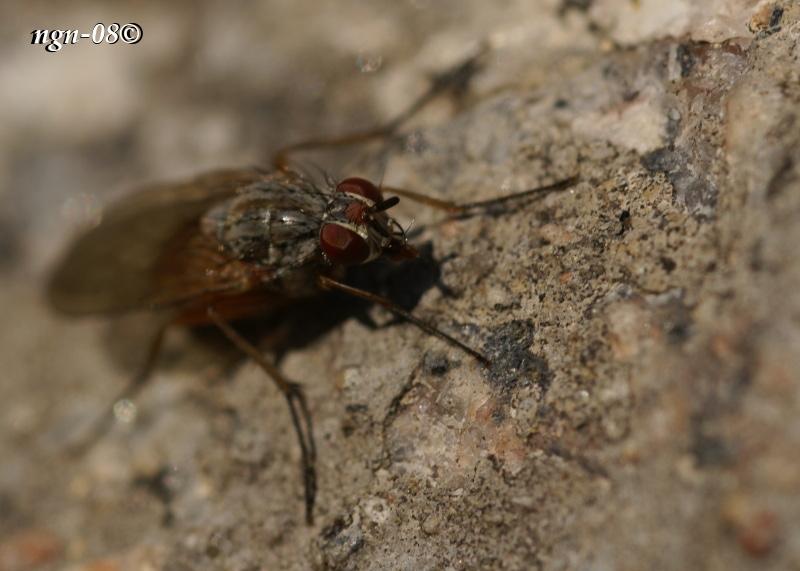 [Bild: Fluga(?) Påminner också om Höststickfluga (Haematobia stimulans), Hona.]