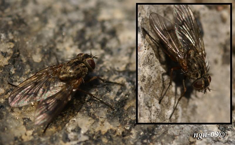 [Bild: Höststickfluga (Haematobia stimulans), Hona]