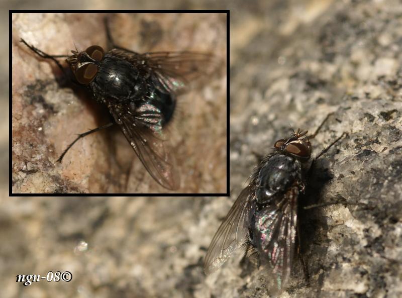 [Bild: Blå spyfluga (Calliphora vomitoria), hane]