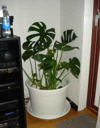 [Bild: Monstera]