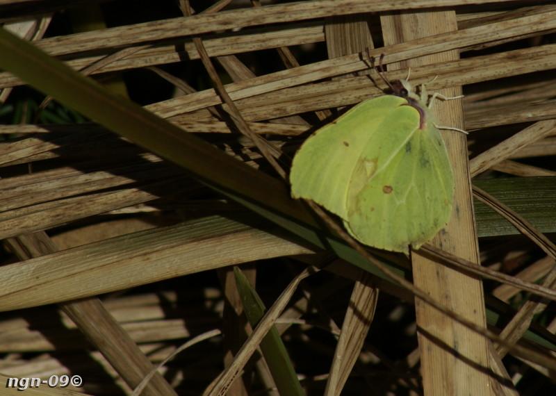 [Bild: Citronfjäril (Gonepteryx rhamni)]