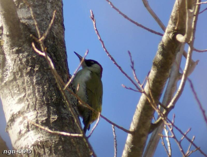 [Bild:  Gröngöling (Picus viridis)]