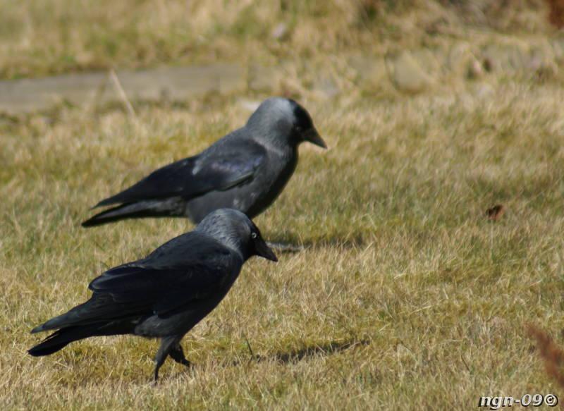 [Bild: Kaja (Corvus monedula)]