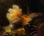 [Bild: Havsnejlika (Metridium senile)]