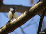[Bild: Talgoxe (Parus major)]