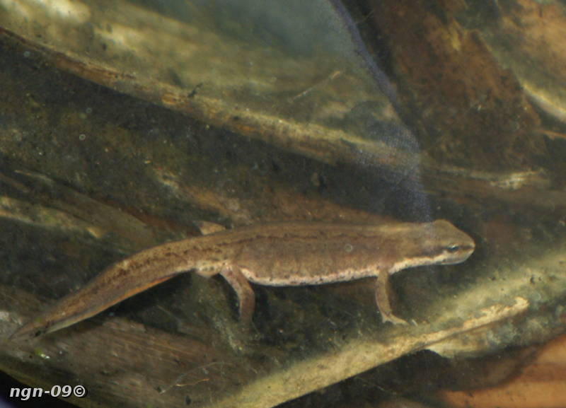 [Bild: Mindre vattensalamander (Triturus vulgaris), hona]
