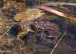 [Bild: Vanlig padda (Bufo bufo)]