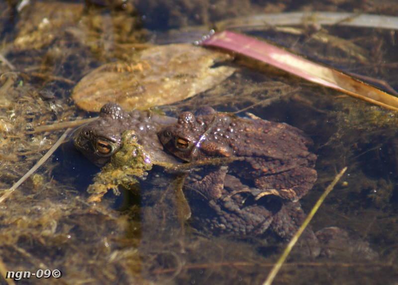 [Bild: Vanlig padda (Bufo bufo), hona och hane]