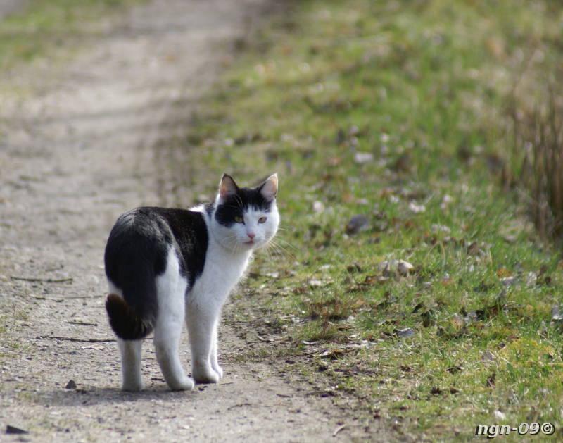 [Bild: Tamkatt (Felis silvestris catus)]