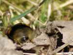 [Bild: Lundhumla (Bombus lucorum)]