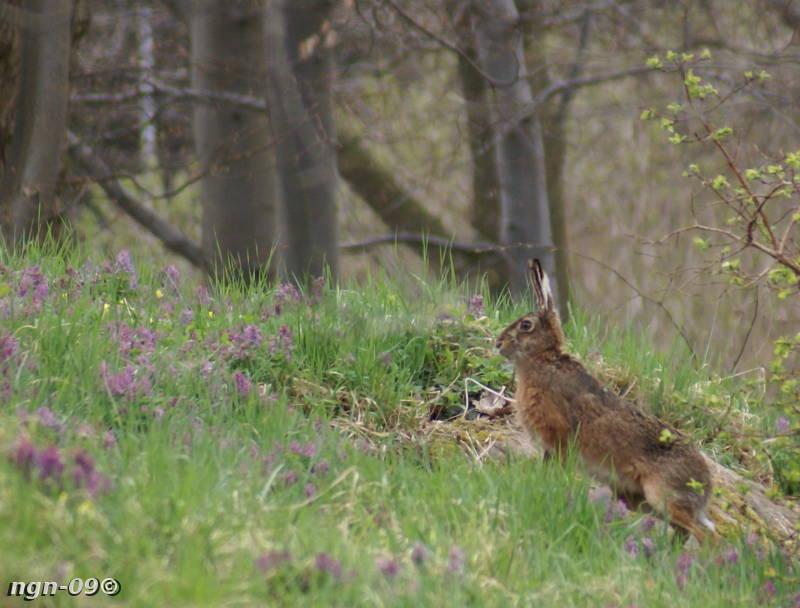 [Bild: Fälthare (Lepus europaeus)]