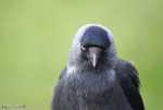 Kaja (Corvus monedula)