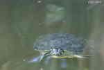 Gulörad Kärrsköldpadda (Trachemys scripta troostii)