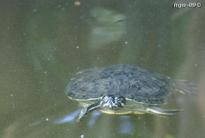 [Bild: Gulörad Kärrsköldpadda (Trachemys scripta troostii).]
