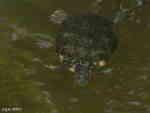 Rödörad Kärrsköldpadda (Trachemys scripta elegans)