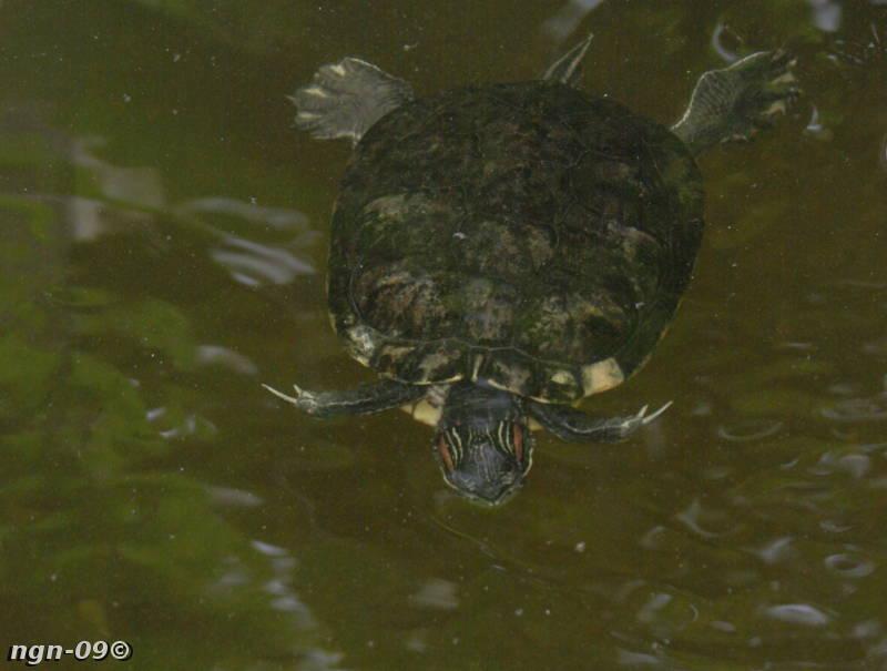 [Bild: Rödörad Kärrsköldpadda (Trachemys scripta elegans)]