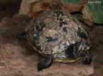 Gulbukad Kärrsköldpadda (Trachemys scripta scripta)