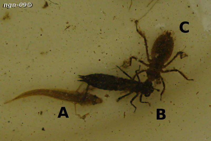 [Bild: Småspigg (Pungitius pungitius), Gungflymosaikslända (Aeshna subarctica) & Ängstrollsända (Sympetrum)]