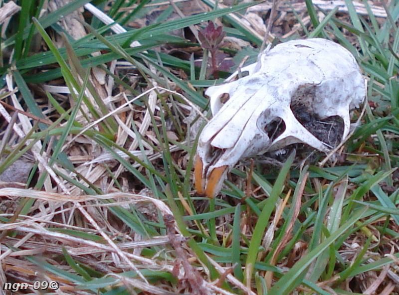 [Bild: Gnagarkranium Åkersork (Microtus agrestis) eller Vattensork (Arvicola terrestris)]