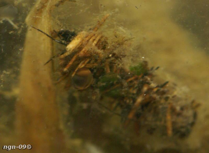 [Bild: Nattsländelarv (Limnophilus flavicornis)]
