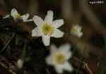 [Bild: Vitsippa (Anemone nemorosa)]