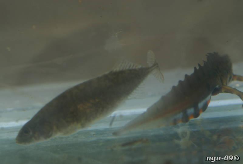 [Bild: Småspigg (Pungitius pungitius)]