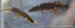[Bild: Mindre vattensalamander (Triturus vulgaris)]