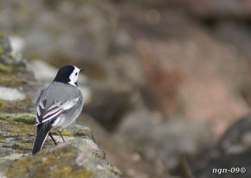 [Bild: Sädesärla (Motacilla alba)]